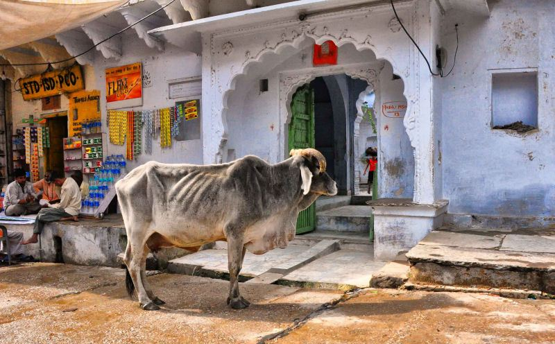 Holy_Cow_india